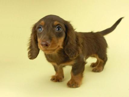 ダックスフンド ベベ & ジャックの子犬 チョコタン 男の子(2)