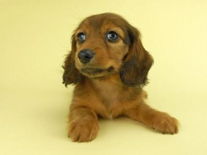 ダックスフンド イース & エックスの子犬 レッド 男の子