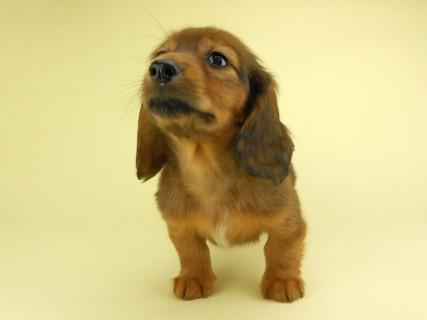 ダックスフンド イース & エックスの子犬 レッド 女の子