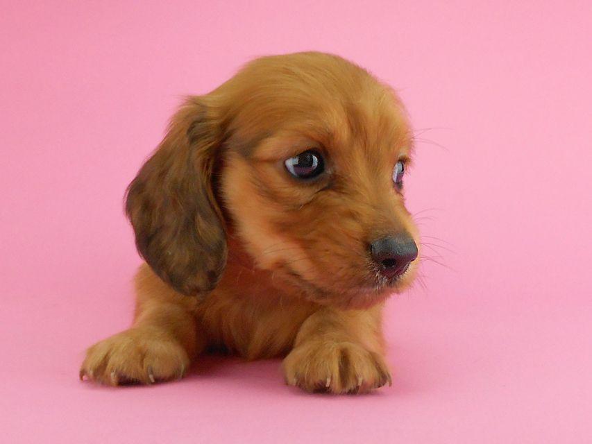 カニンヘンダックスフンド トマト & クッキーの子犬 レッド 男の子