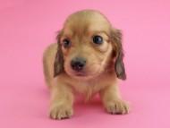 トマト & クッキーの子犬 イエロー(クリーム) 男の子