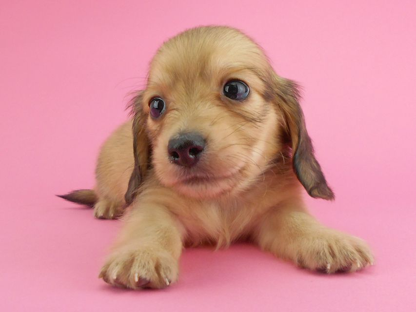 カニンヘンダックスフンド トマト & クッキーの子犬 イエロー(クリーム) 男の子