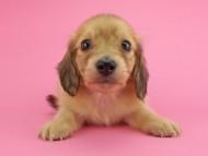 トマト & クッキーの子犬 イエロー(クリーム) 女の子