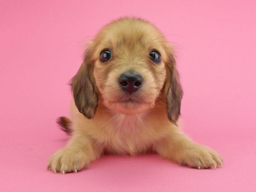 カニンヘンダックスフンド トマト & クッキーの子犬 イエロー(クリーム) 女の子