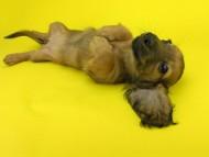 リン2 & ジムダンディの子犬 イエロー(クリーム) 女の子
