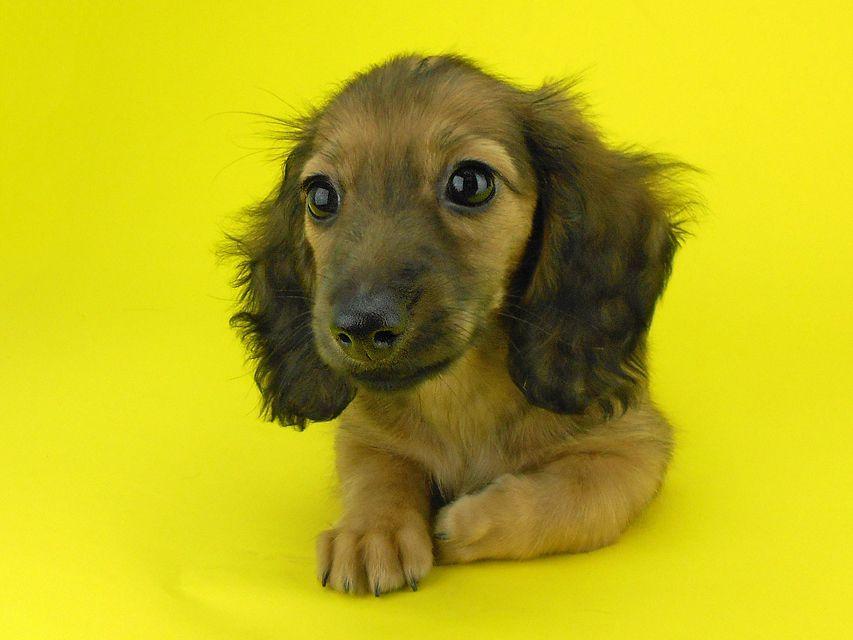 カニンヘンダックスフンド リン2 & ジムダンディの子犬 イエロー(クリーム) 女の子