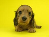 パン2 & オスカルの子犬 イエロー(クリーム) 女の子(2)