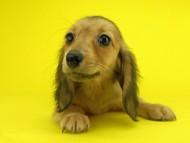 オーロラ & たけるの子犬 イエロー(クリーム) 女の子