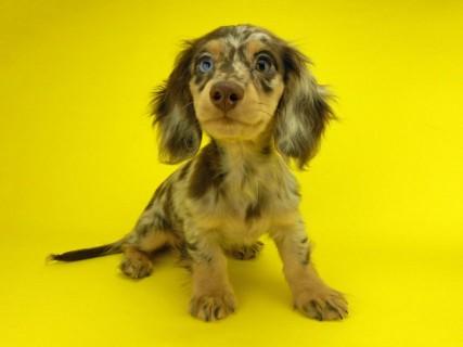 ダックスフンド ゴマ & バロンの子犬 チョコダップル 男の子