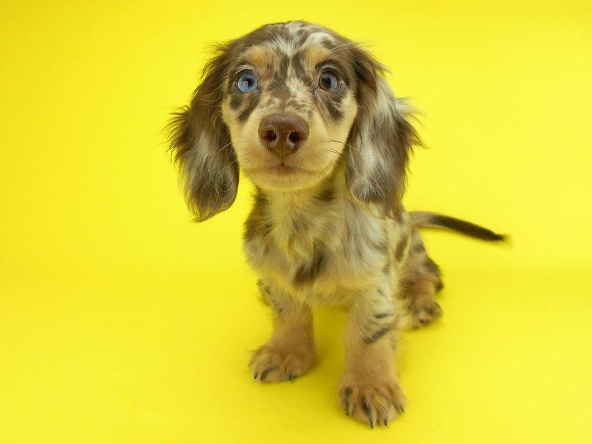 カニンヘンダックスフンド ゴマ & バロンの子犬 チョコダップル 男の子