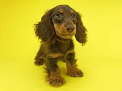 ダックスフンド ゴマ & バロンの子犬 チョコタン 男の子