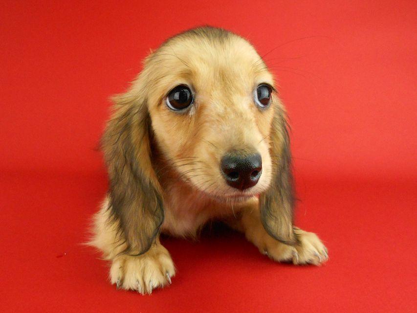 カニンヘンダックスフンド オーロラ & たけるの子犬 イエロー(クリーム) 女の子