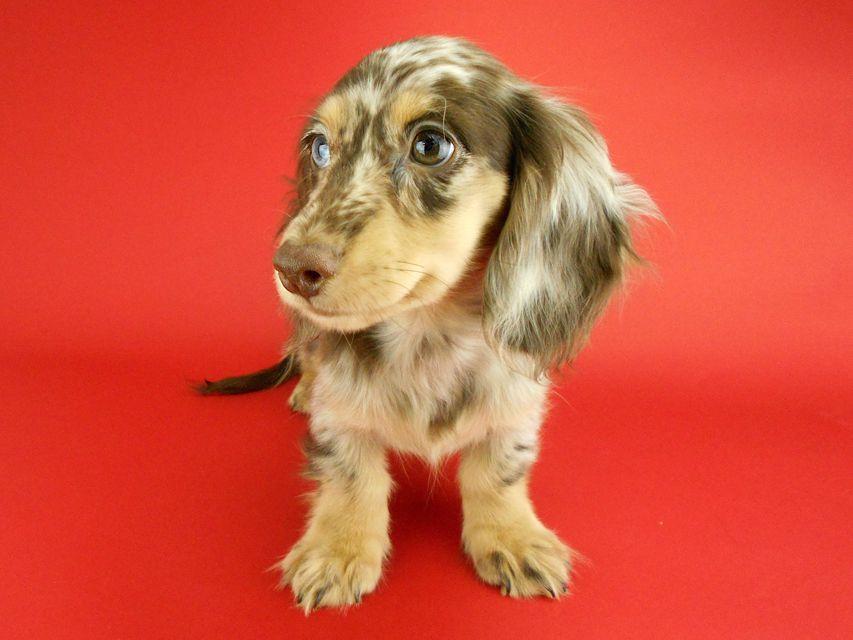 カニンヘンダックスフンド ゴマ & バロンの子犬 チョコダップルイエロー 男の子