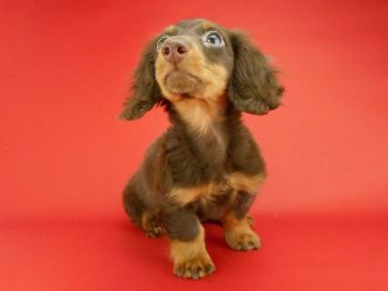 ダックスフンド ベベ & ジャックの子犬 チョコタン 男の子(1)