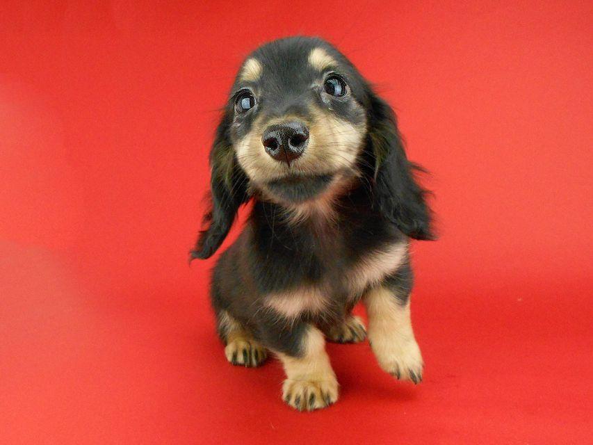 カニンヘンダックスフンド パセリ & ナイトの子犬 ブラックイエロー(ブラッククリーム) 男の子