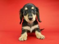 トマト & クッキーの子犬 ブラックイエロー(ブラッククリーム) 女の子