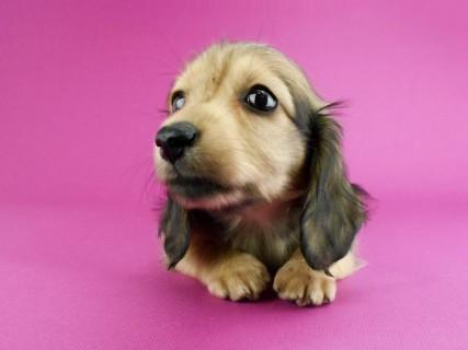 ダックスフンド パン2 & オスカルの子犬 イエロー(クリーム) 女の子(1)