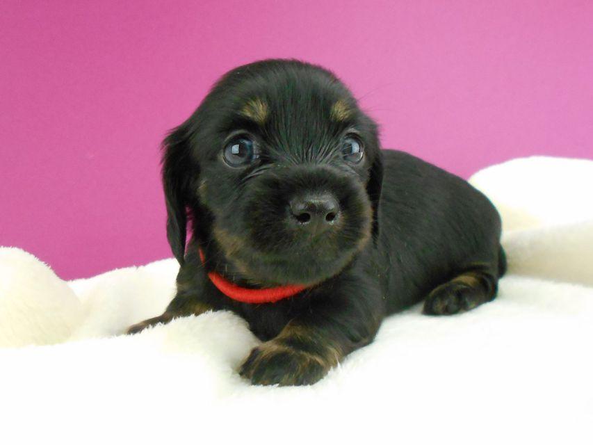 コトhp & ブルースの子犬 ブラックタン 女の子 お写真初登場