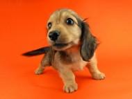 パン2 & オスカルの子犬 イエロー(クリーム) 女の子(1)