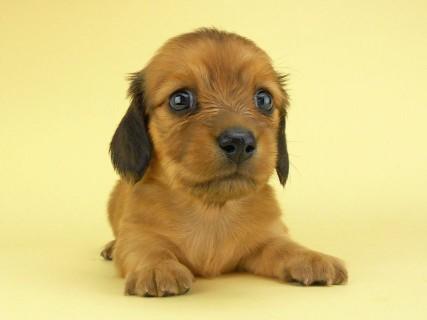 ダックスフンド シャーロットcs & ジムダンディの子犬 レッド 女の子