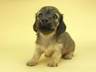 シャーロットcs & ジムダンディの子犬 イエロー(クリーム) 女の子