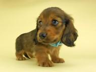 シュガーhp & フレディの子犬 レッド 男の子(2)