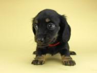 コトhp & ブルースの子犬 ブラックタン 女の子