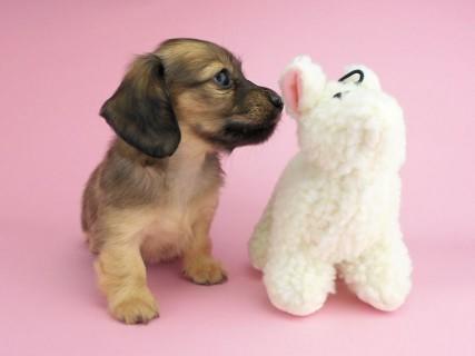 ダックスフンド シャーロットcs & ジムダンディの子犬 イエロー(クリーム) 女の子