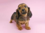 シュガーhp & フレディの子犬 レッド 男の子(1)