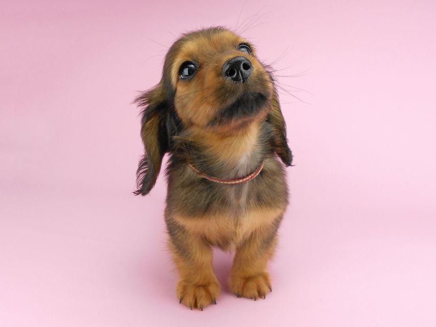 カニンヘンダックスフンド シュガーhp & フレディの子犬 レッド 男の子(1)