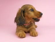 シュガーhp & フレディの子犬 レッド 女の子