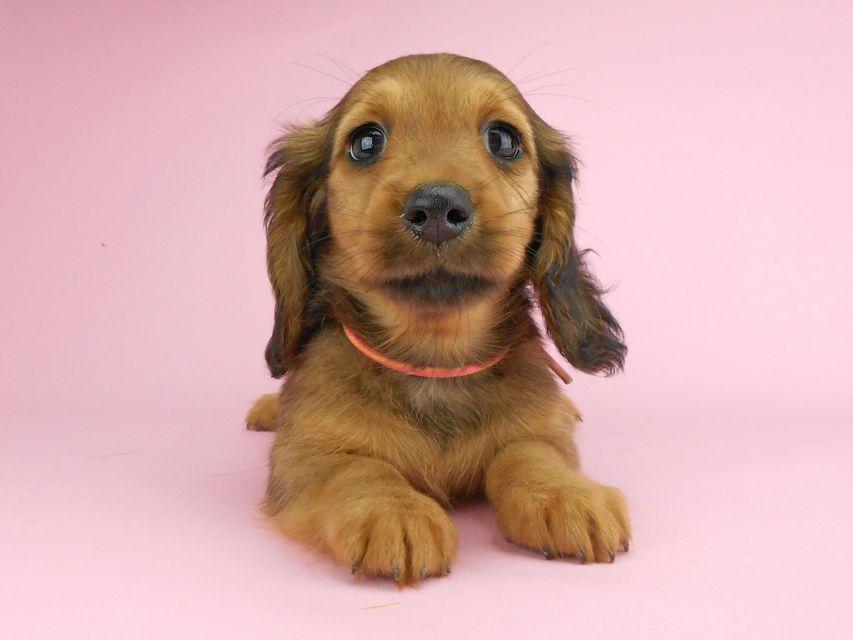 カニンヘンダックスフンド シュガーhp & フレディの子犬 レッド 女の子