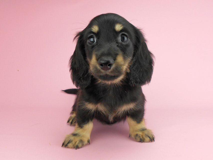 カニンヘンダックスフンド ペコ & ナイトの子犬 ブラックイエロー(ブラッククリーム) 男の子