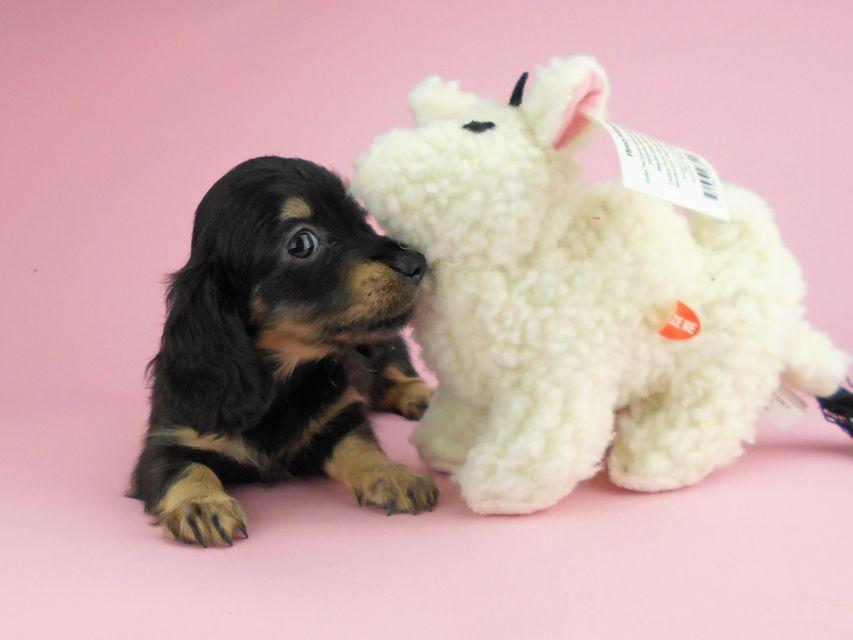 カニンヘンダックスフンド ペコ & ナイトの子犬 ブラックイエロー(ブラッククリーム) 女の子(1)