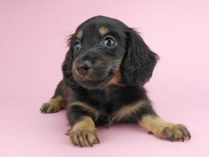 ダックスフンド ペコ & ナイトの子犬 ブラックイエロー 女の子(2)