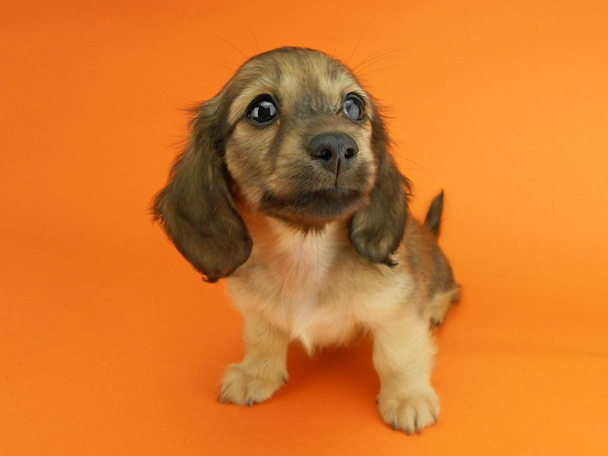 カニンヘンダックスフンド シャーロットcs & ジムダンディの子犬 イエロー(クリーム) 女の子