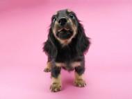 ペコ & ナイトの子犬 ブラックイエロー(ブラッククリーム) 男の子