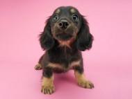 ペコ & ナイトの子犬 ブラックイエロー(ブラッククリーム) 女の子(2)