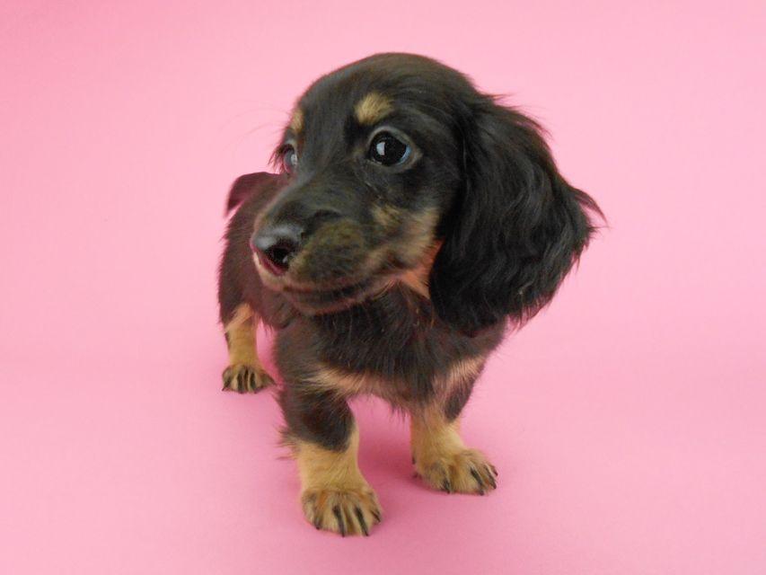 カニンヘンダックスフンド ペコ & ナイトの子犬 ブラックイエロー(ブラッククリーム) 女の子(2)