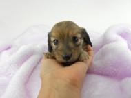 アン2 & オスカルの子犬 レディッシュイエロー(シェーデットクリーム) 女の子 お写真初登場