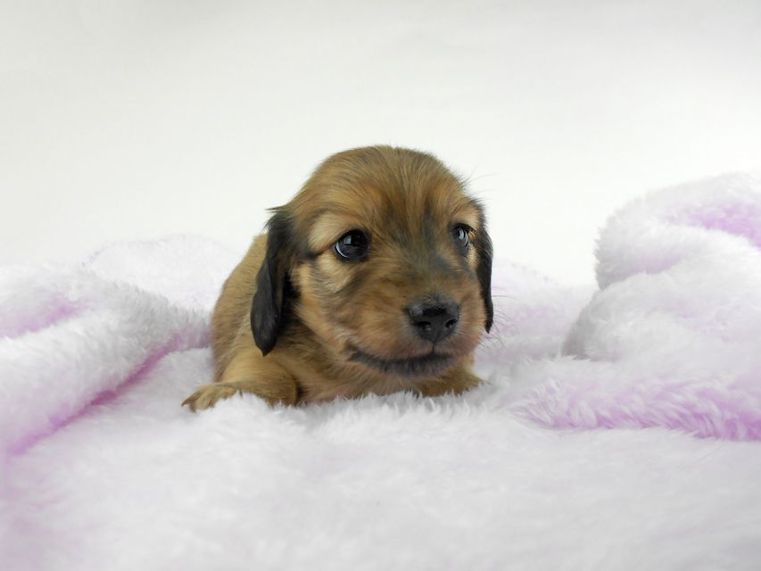 カニンヘンダックスフンド アン2 & オスカルの子犬 レディッシュイエロー(シェーデットクリーム) 女の子 お写真初登場