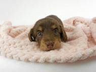 グリム & 朝日の子犬 チョコイエロー(チョコクリーム) 女の子(1) お写真初登場