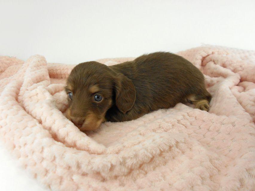 カニンヘンダックスフンド グリム & 朝日の子犬 チョコイエロー(チョコクリーム) 女の子(1) お写真初登場