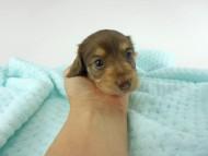 グリム & 朝日の子犬 チョコイエロー(チョコクリーム) 女の子(2) お写真初登場