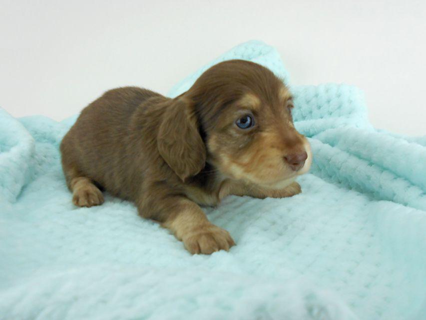 カニンヘンダックスフンド グリム & 朝日の子犬 チョコイエロー(チョコクリーム) 女の子(2) お写真初登場