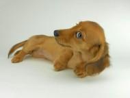 シャーロットcs & ジムダンディの子犬 レッド 女の子