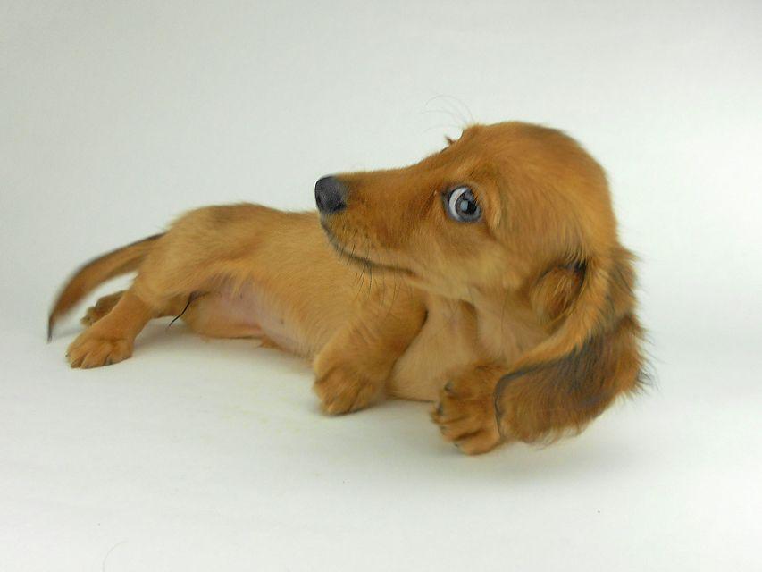 カニンヘンダックスフンド シャーロットcs & ジムダンディの子犬 レッド 女の子