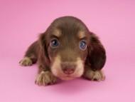 グリム & 朝日の子犬 チョコイエロー(チョコクリーム) 女の子(1)