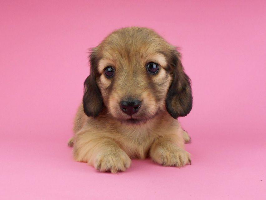 カニンヘンダックスフンド アン2 & オスカルの子犬 シェーデットイエロー(シェーデットクリーム) 女の子 お写真初登場