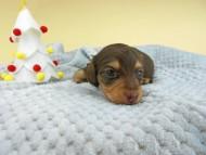 ピノ & スルガの子犬 チョコイエロー(チョコクリーム) 男の子(1)お写真初登場